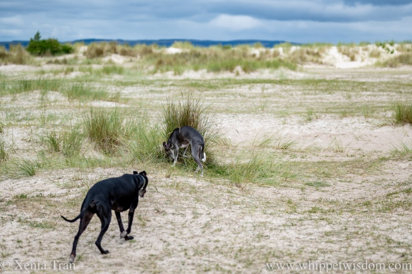 two whippets in the dunes