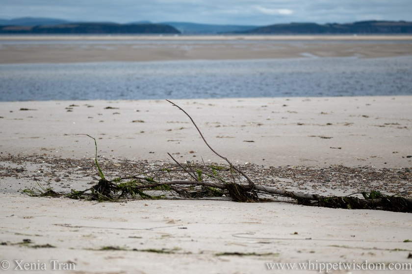 a driftwood tree resting on tidal sands