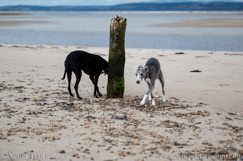 two whippets on the beach by a wooden post above the tidal lagoon