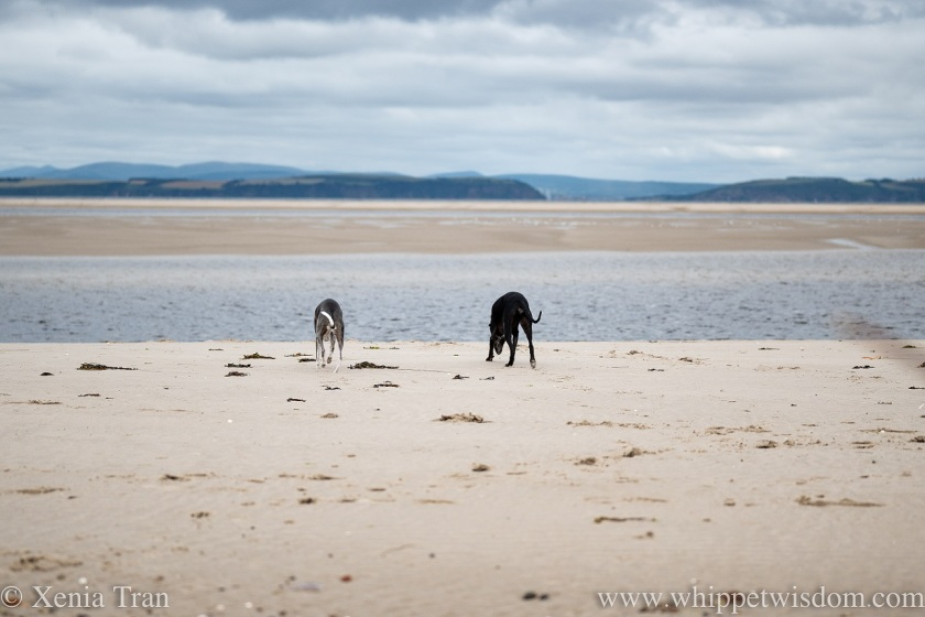 two whippets sniffing the tidal sand as the lagoon fills with water