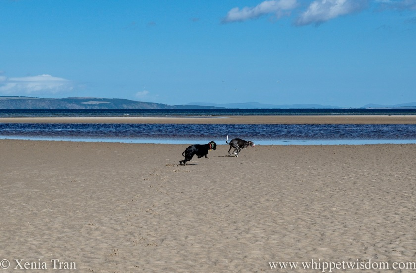 two whippets zooming across a sand bar at low tide