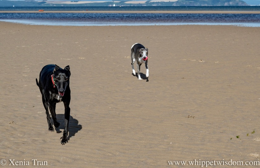 close up of two whippets running across tidal sands