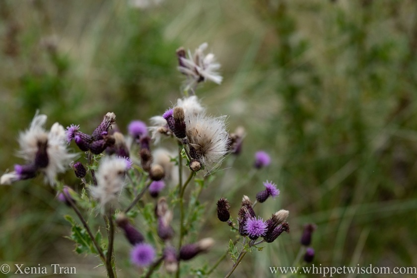 close up of thistle flower and seed heads