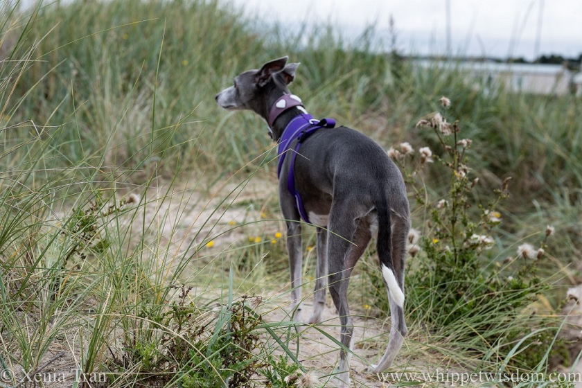 a blue and white whippet pausing on a sandy trail through the dunes