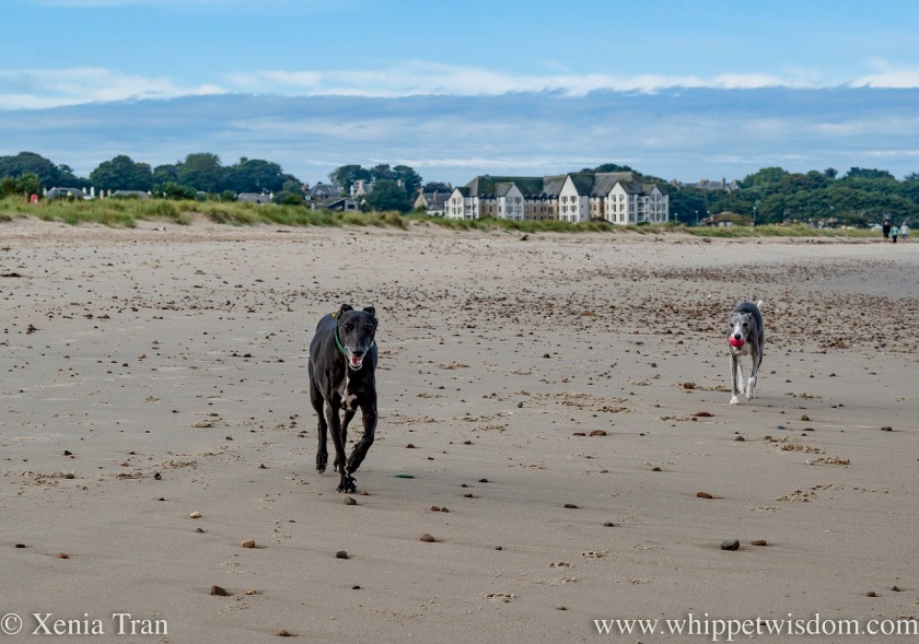 a smiling black and white whippet and a blue and white whippet with a ball running across tidal sands