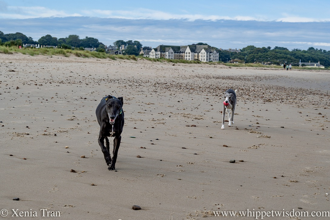 two whippets running on tidal sands with scattered stones
