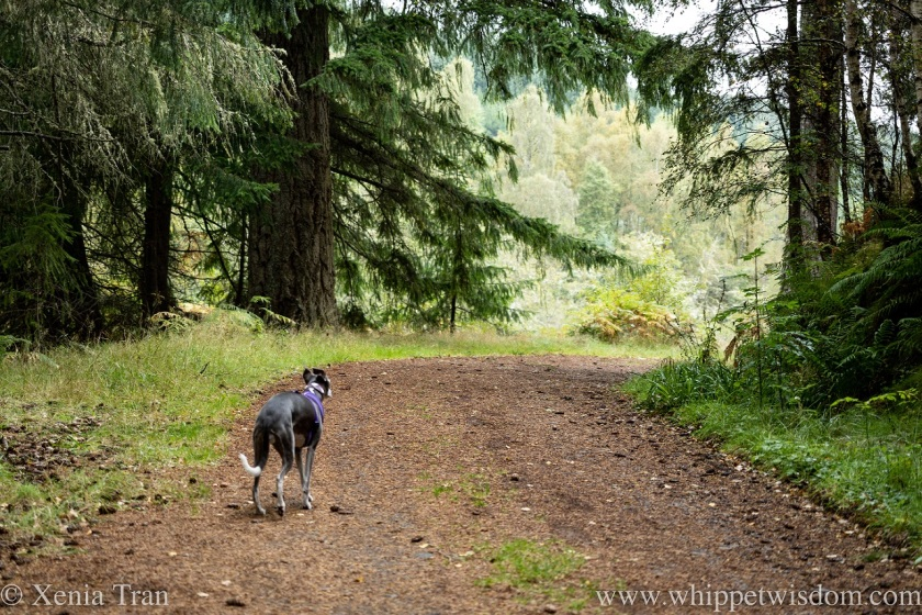 a blue and white whippet on a forest trail in autumn