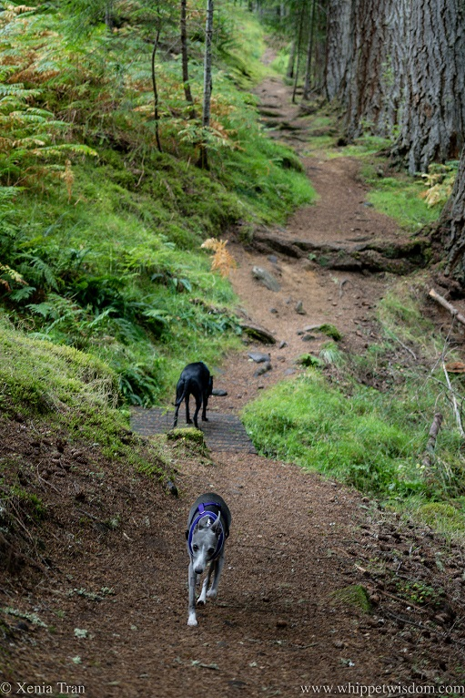 two whippets on a hilly and curvy forest trail
