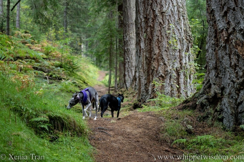 two whippets exploring a forest trail with ancient Douglas Fir