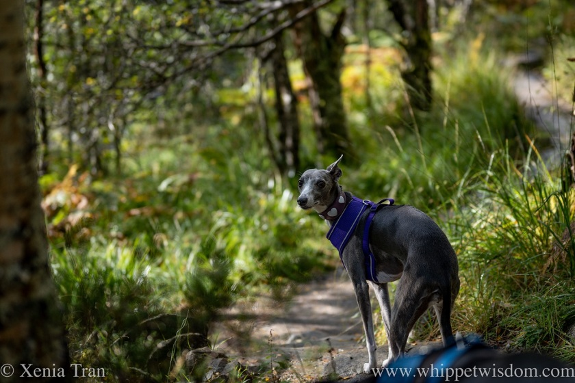 a blue and white whippet looking back on a forest trail