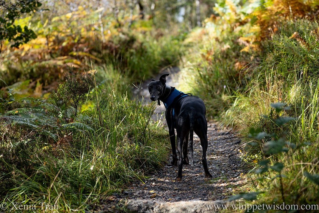 a black and white whippet looking back on a forest trail in autumn