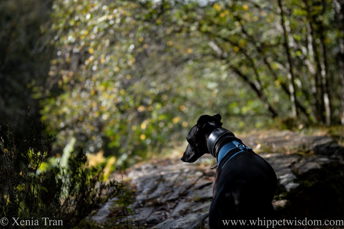 close up of a black whippet on a forest trail in autumn