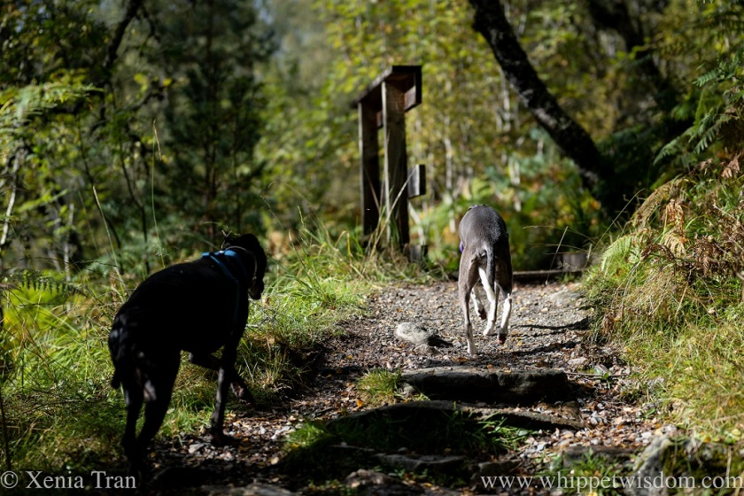 two whippets approaching a wooden bridge over a stream in a forest