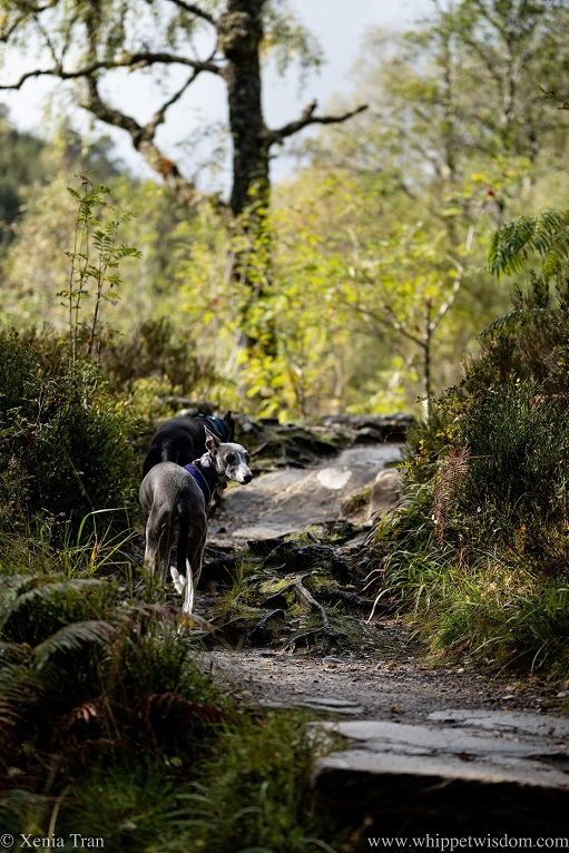two whippets climbing a hilly forest trail in autumn