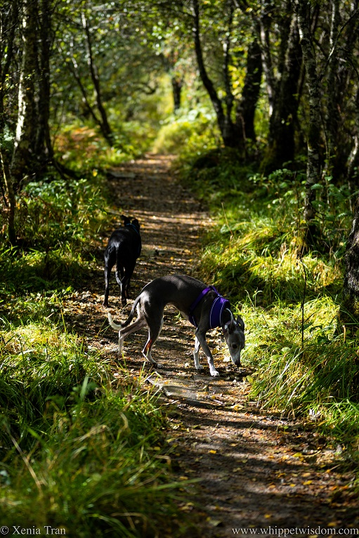 two whippets on a forest trail in dappled autumn light