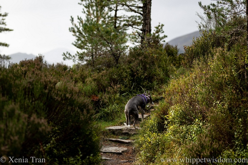 a blue and white whippet climbing stone steps to a mountain view point