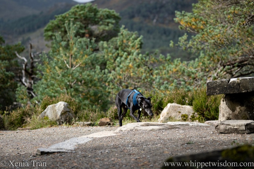 a black whippet sniffing the grass on top of a hill beside a rock