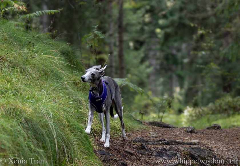 a blue and white whippet on a forest trail