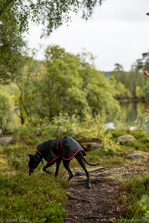 a black whippet in a raincoat sniffing the heather beside a loch