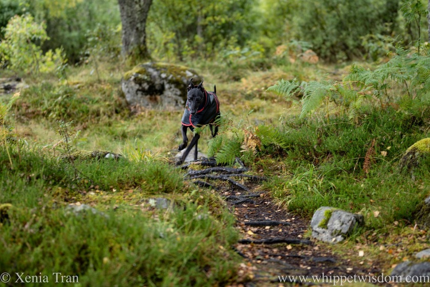 a black whippet in a raincoat running around a corner on a forest trail