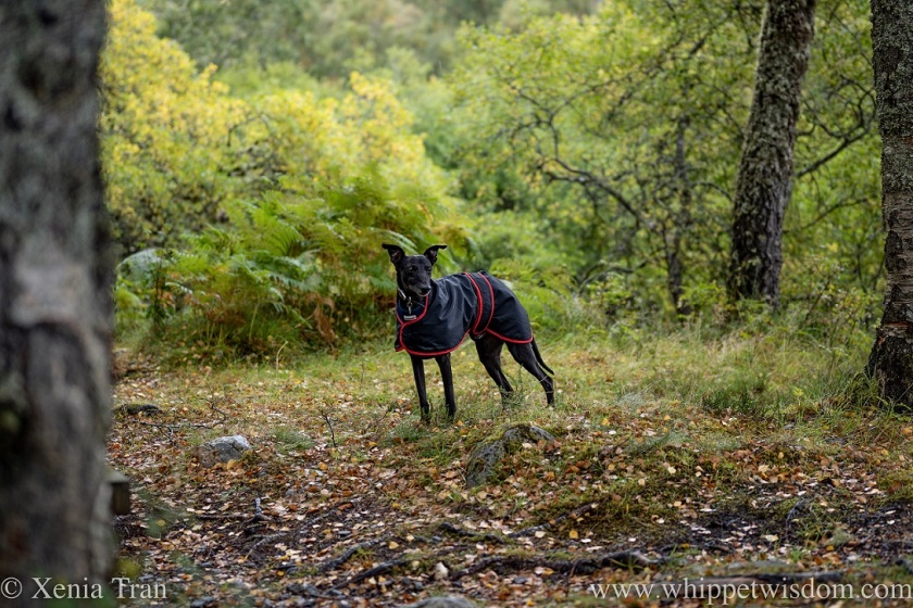a black whippet in a raincoat looking alert among scattered autumn leaves in the forest