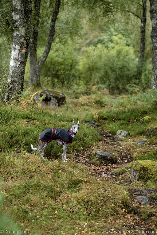 a blue and white whippet in a raincoat on a hilly forest trail