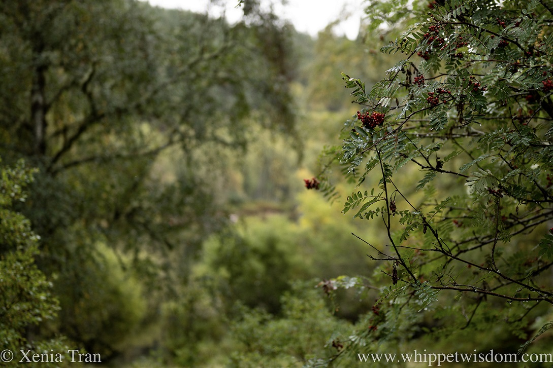 raindrops on rowan berries in the forest