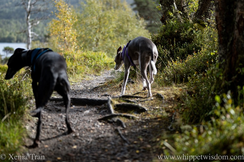 two whippets walking on a mountain trail in autumn