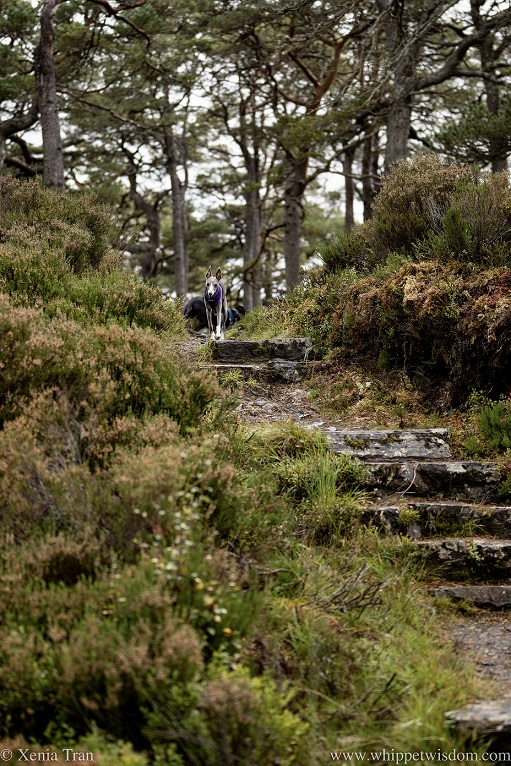 a blue and white whippet walking down stone steps on a mountain trail