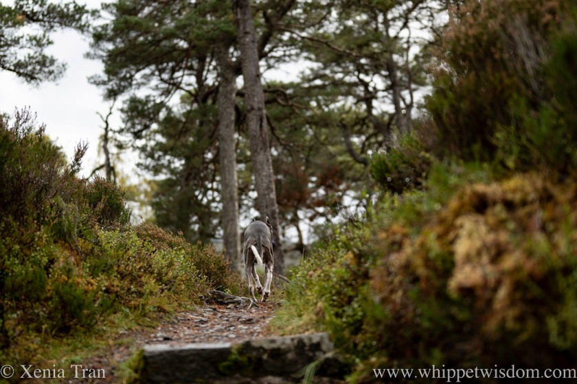 a blue and white whippet climbing a mountain trail with heather and pine in autumn